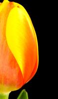 Orange tulip half