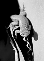 Blue Belly in Black and White