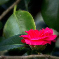 Comely Camellia